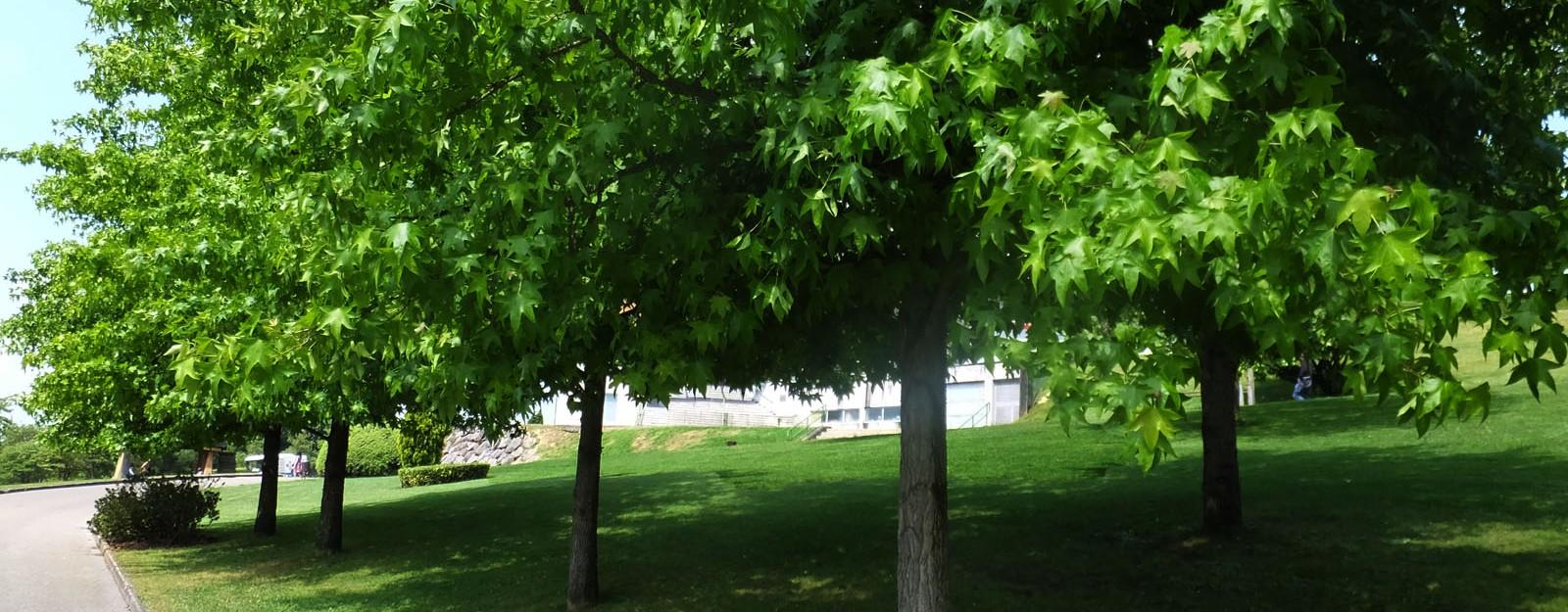 Wie kann man sich seinen eigenen Ahornbaum züchten?
