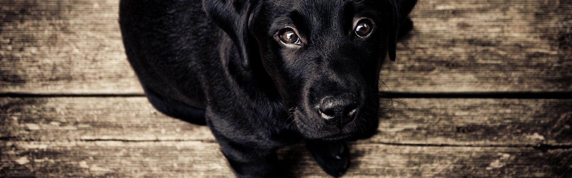 Wie entfernt man Ohrmilben bei seinem Hund?